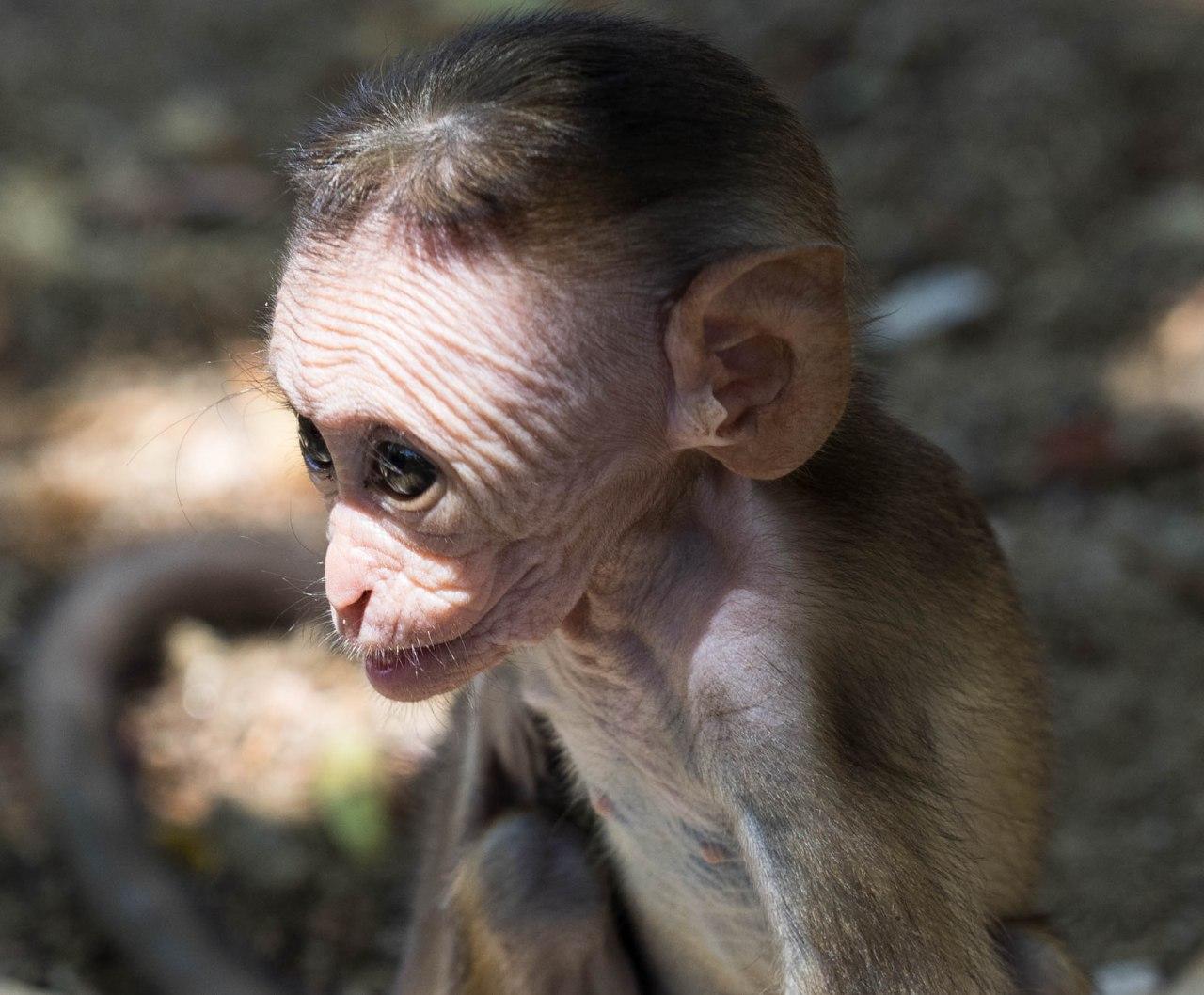 Quand les jeunes singes apprennent à faire lagrimace!